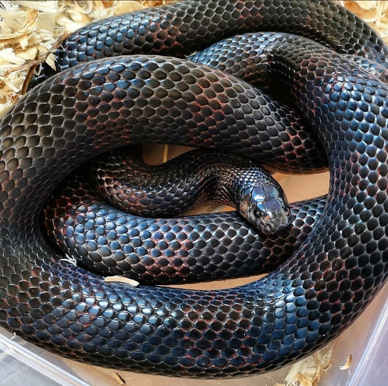 Black Milk Snake