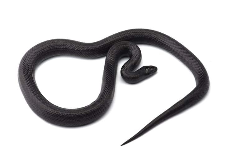 Black Milk Snakes