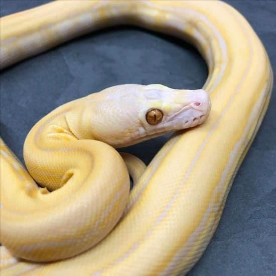 Blond Tiger Reticulated Python