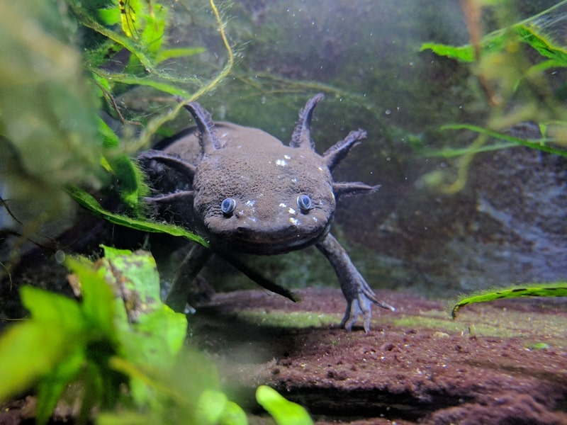 Blue Axolotls-Everything You Need to Know