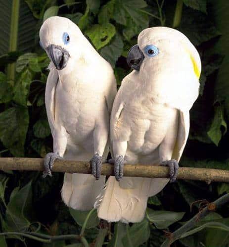 Blue-eyed Cockatoo
