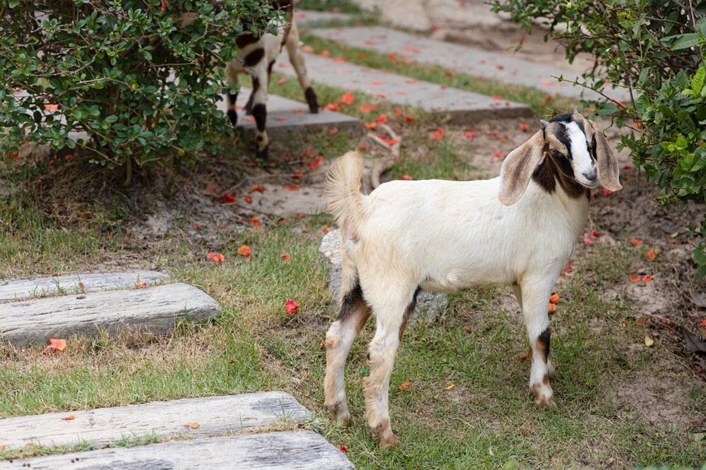 Boer Goats as Pets-Everything You Need to Know