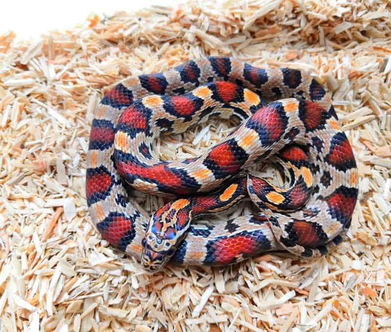 Buckskin Okeetee Snake