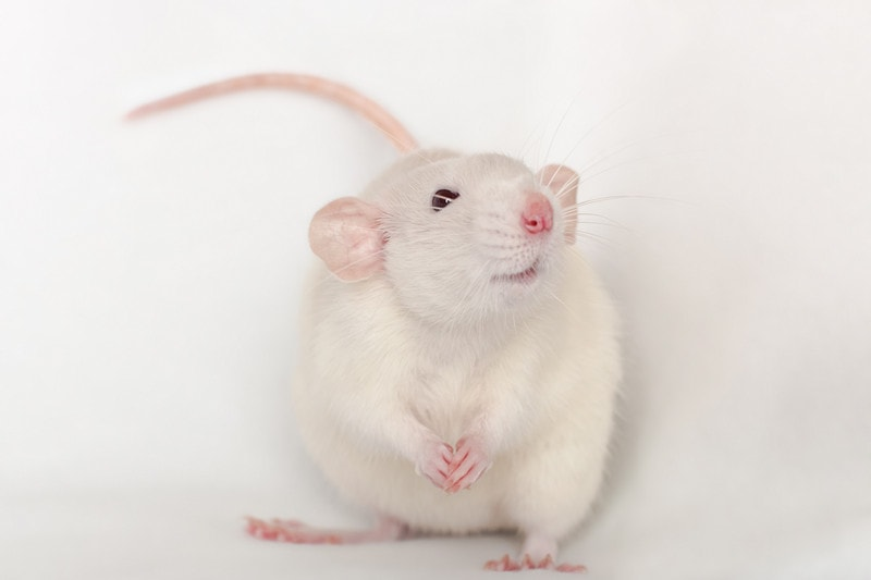 Dumbo Rats as Pets-Everything You Need to Know