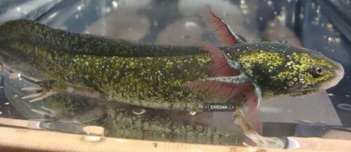 Enigma Axolotl