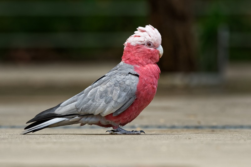 Galah Cockatoos as Pets-Everything You Need to Know