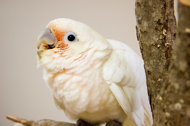 Goffin's Cockatoos as Pets-Everything You Need to Know