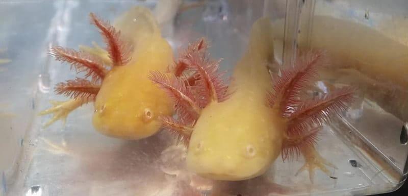 Golden Axolotl