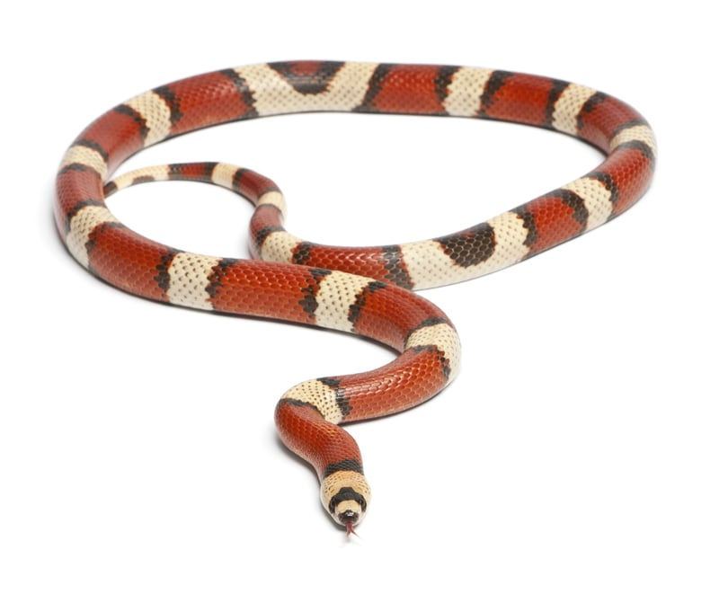 Honduran Milk Snakes-Everything You Need to Know