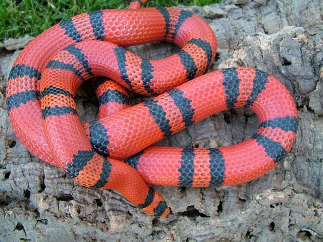 Hypomelanistic Honduran milk snake