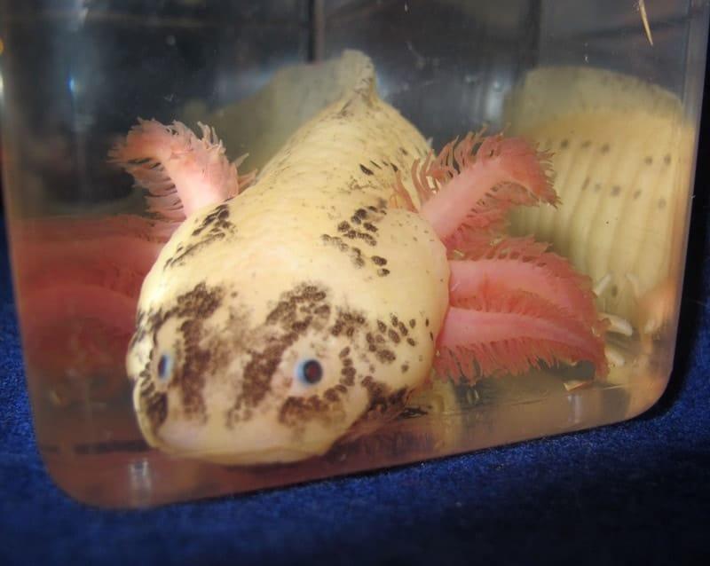 Leucistic Speckled Axolotl