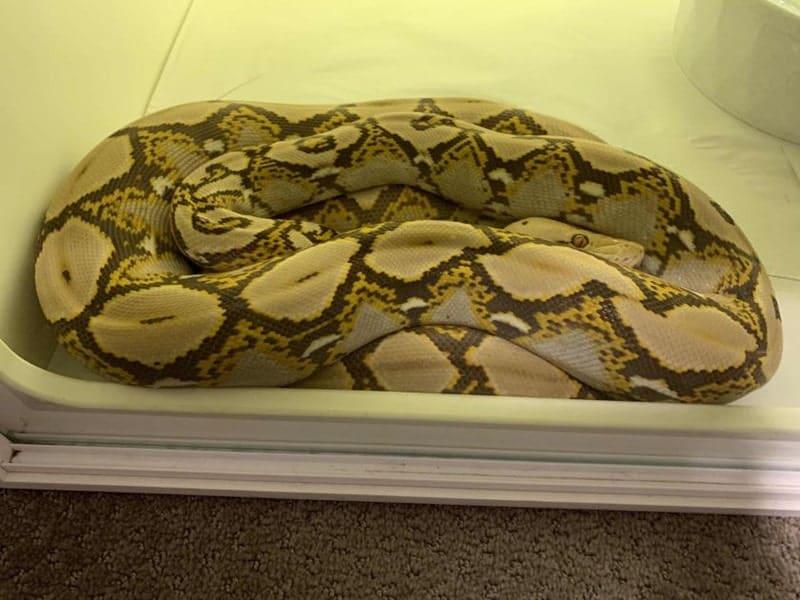 Mochino Reticulated Python