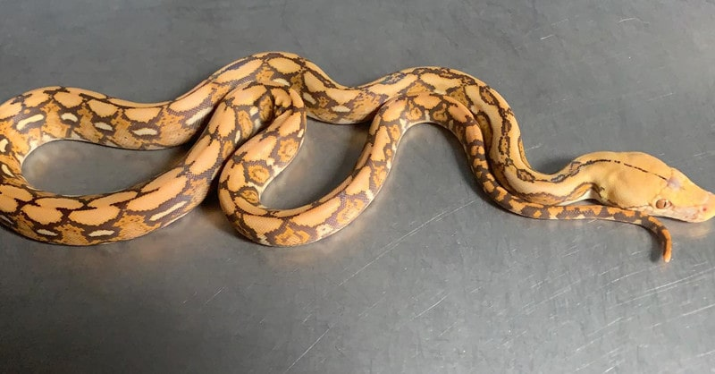 Mochino Tiger Reticulated Python