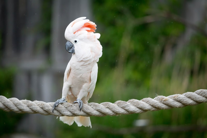 Moluccan Cockatoos As Pets Care Info Temperament And Facts Family Life Share