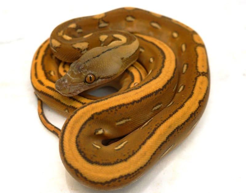 Orange Ghost Stripe Reticulated Python