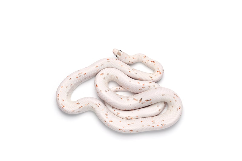 Palmetto Corn Snakes-Everything You Need to Know