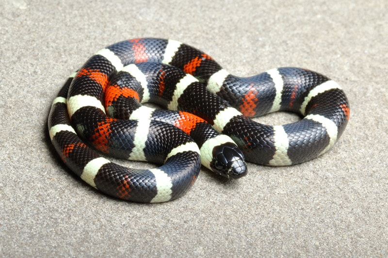 Pueblan Milk Snakes-Everything You Need to Know
