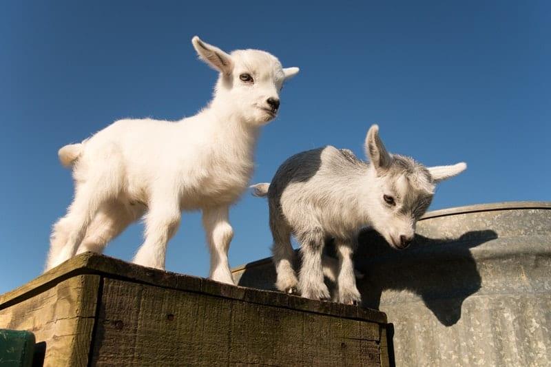 Pygmy Goats Need Companions