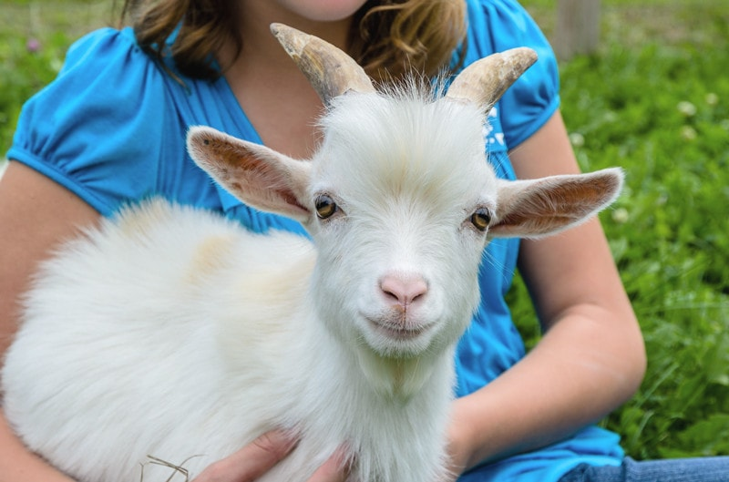 Pygmy Goats as Pets-Everything You Need to Know
