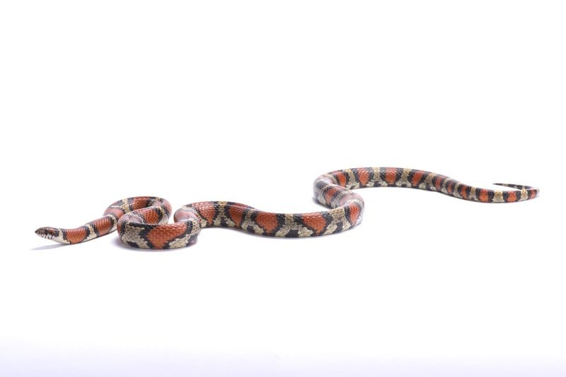 Red Milk Snakes-Everything You Need to Know