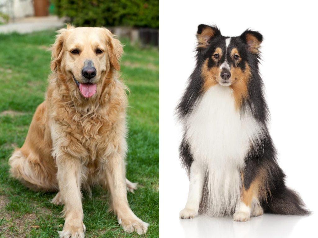 Shetland Sheepdog Golden Retriever Mix-Everything You Need to Know