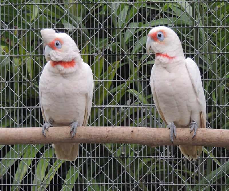 Slender-Billed Cockatoo