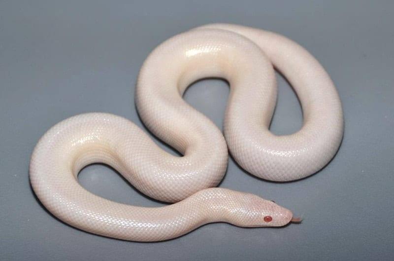 Snow Rosy Boa