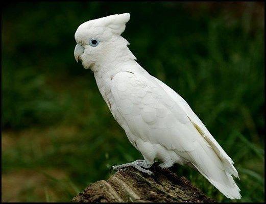 Solomons Cockatoo