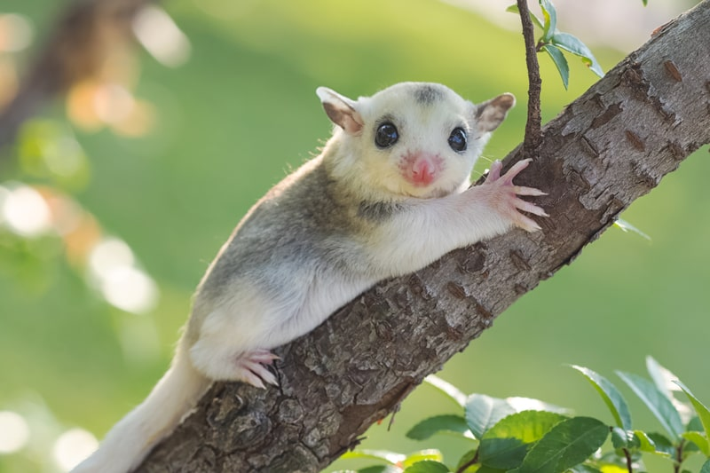 Sugar Glider Colors: 17 Different Color of Sugar Glider With Pictures