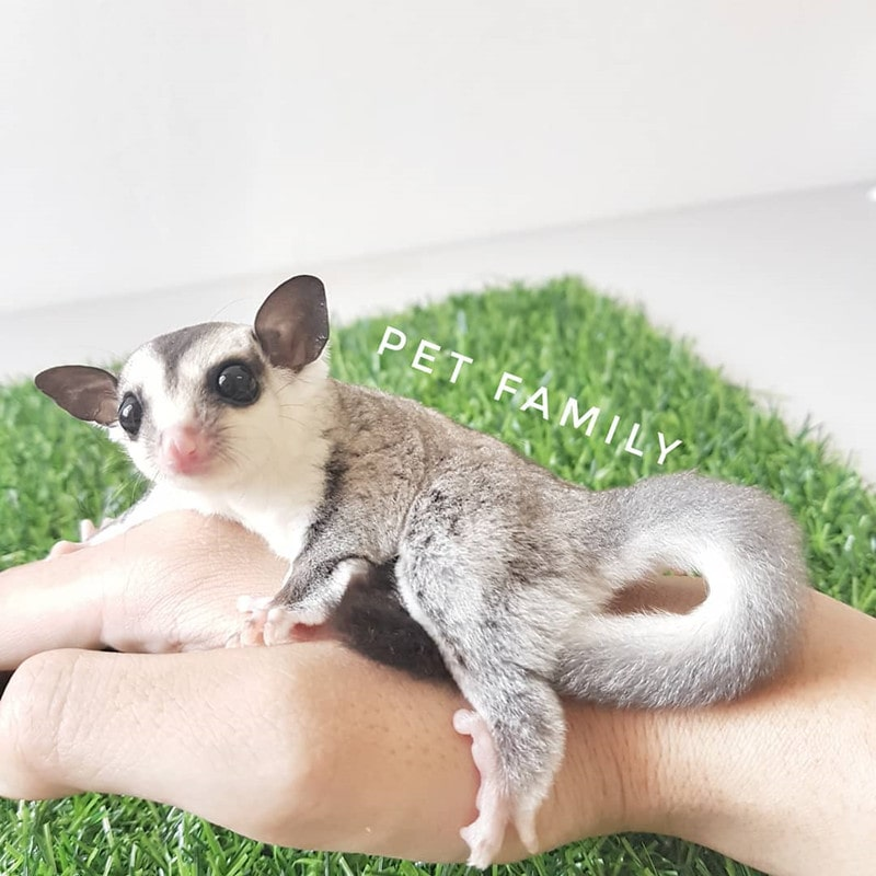 White Face Blonde Gliders