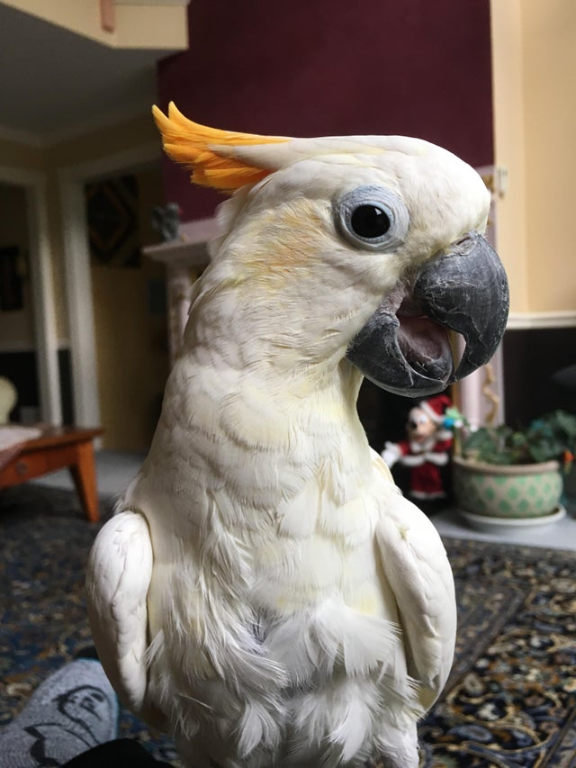 Citron Cockatoo