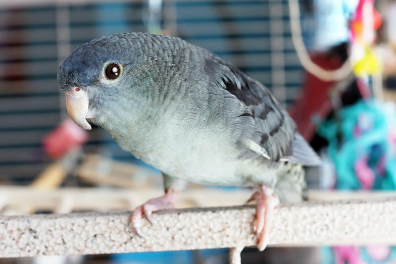 15 Cool Lineolated Parakeet Facts