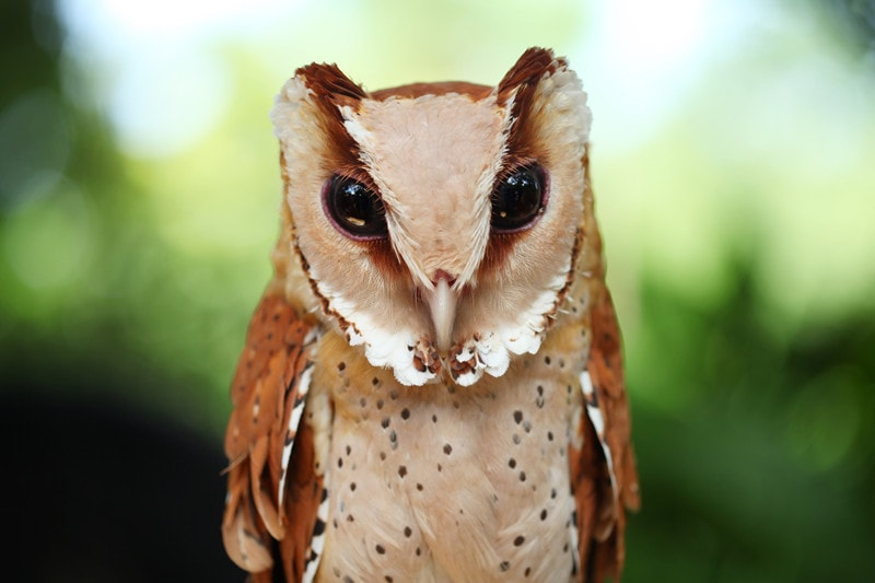 15 Cool Oriental Bay Owl Facts