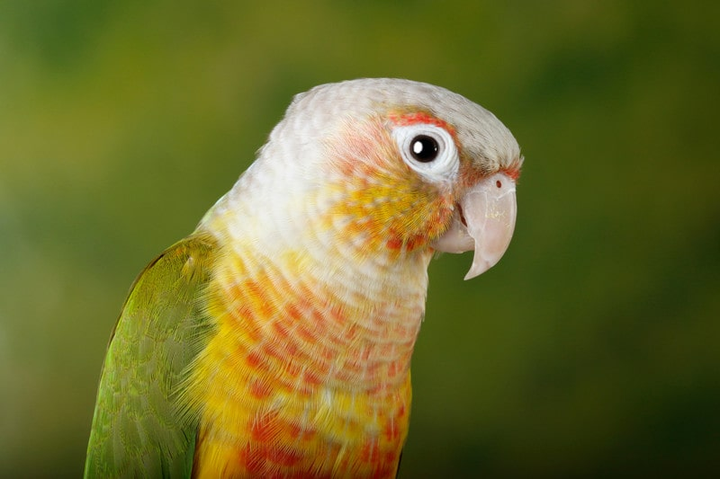 15 Cool Pineapple Conure Facts