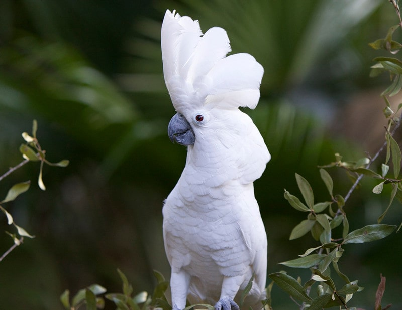 15 Cool White Cockatoo Facts