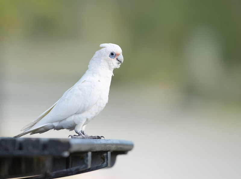 17 Cool Bare Eyed Cockatoo Facts