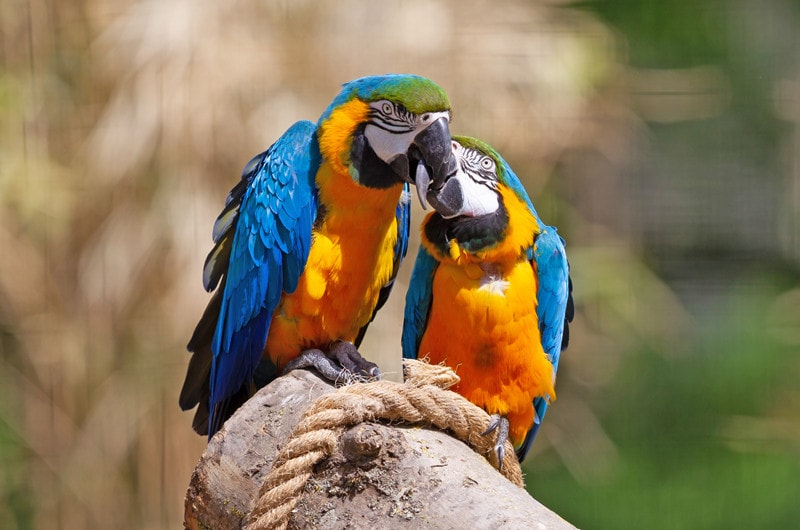 7 Cool Blue And Gold Macaw Facts