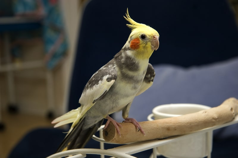 7 Cool Pied Cockatiel Facts