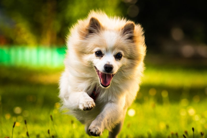Can Pomeranians Run Long Distances