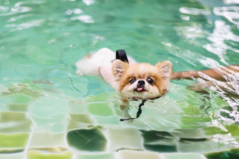 Can Pomeranians Swim
