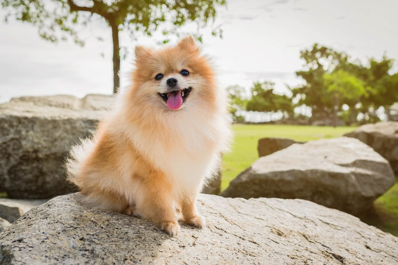 Choosing a Pomeranian Mixed Breed: Which is Best for Your Home