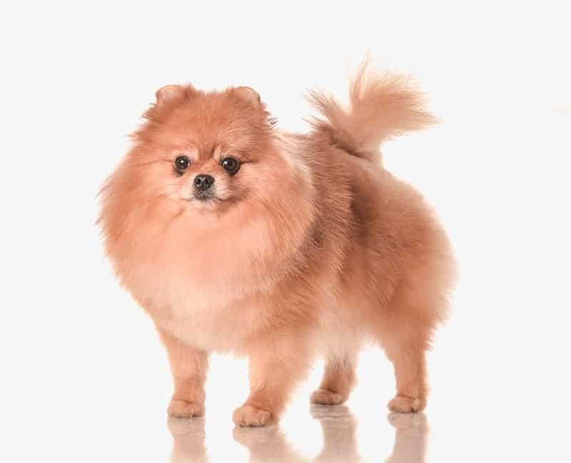 How Big Do Pomeranians Get