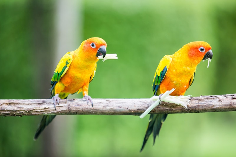 How Long Do Conures Live on Average