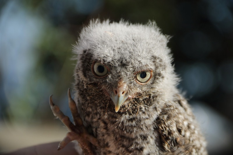 How Long Does it Take For a Baby Owl to Grow
