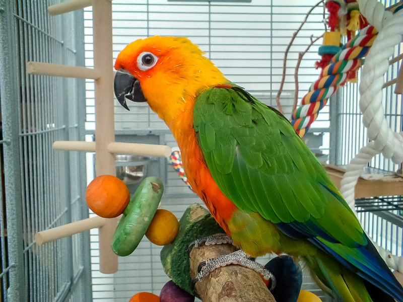 Jenday Conures as Pets-Everything You Need to Know
