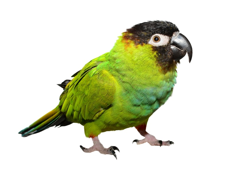 Nanday Conures as Pets-Everything You Need to Know