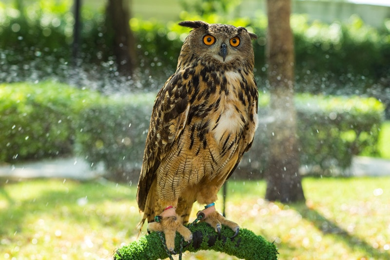 Owls as Pets: Cost to Buy, Temperament and Care Info