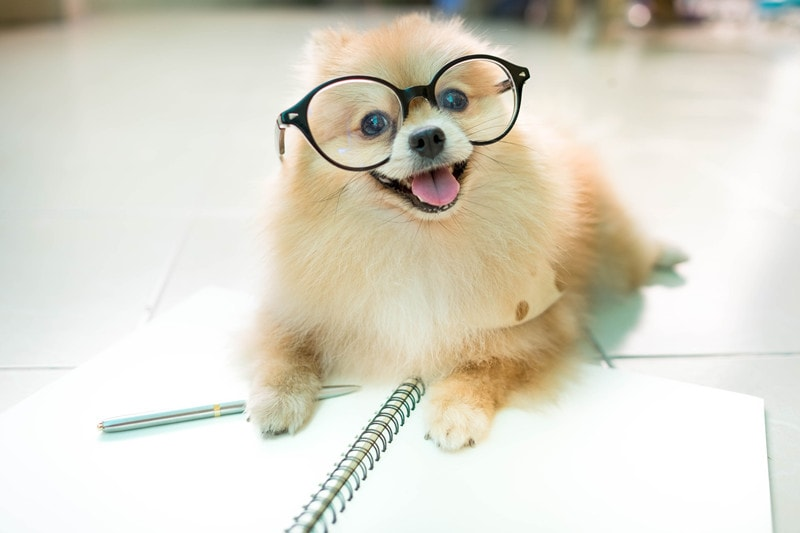 Pomeranian Intelligence: How Smart Are They?