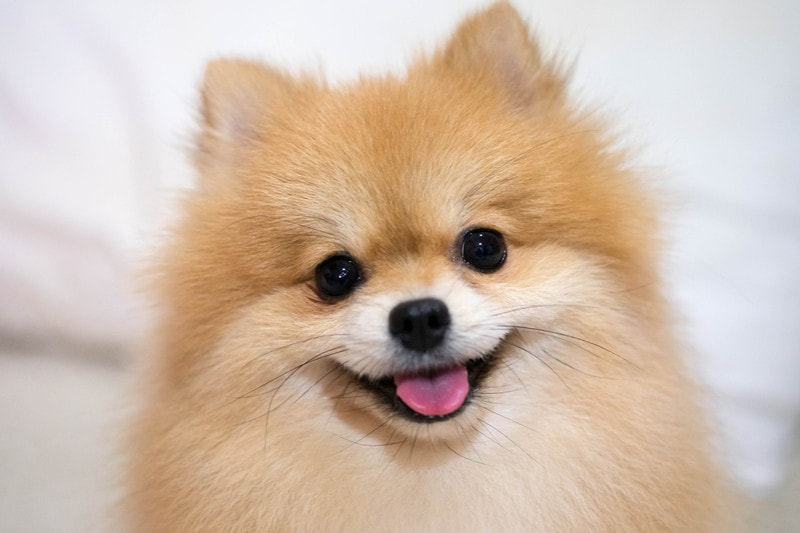 Pomeranian Temperament: What Is It Like to Own a Pomeranian