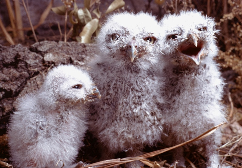 What Do Baby Owls Look Like?